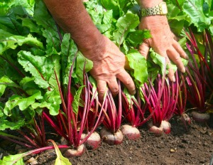 1416137411_Beetroot in mid July