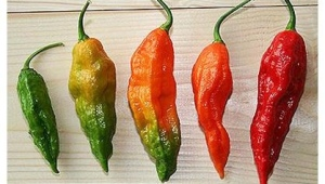Ghost-Pepper-Bhut-Jokia